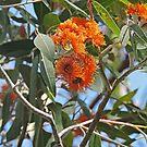 Eucalyptus Miniata, Woollybutt, Kimberley, Western Australia by Margaret  Hyde