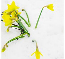 Daffodils in the Snow by Andrew Robinson