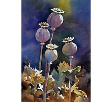 Poppy Seed Heads Photographic Print