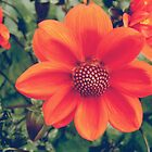 Orange dahlia flowers by cycreation