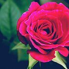 Pink rose flower by cycreation