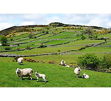 Kerry Hill Sheep Photographic Print