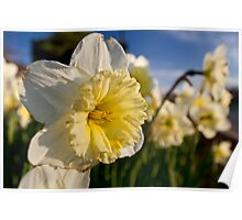 daffodils close up Poster