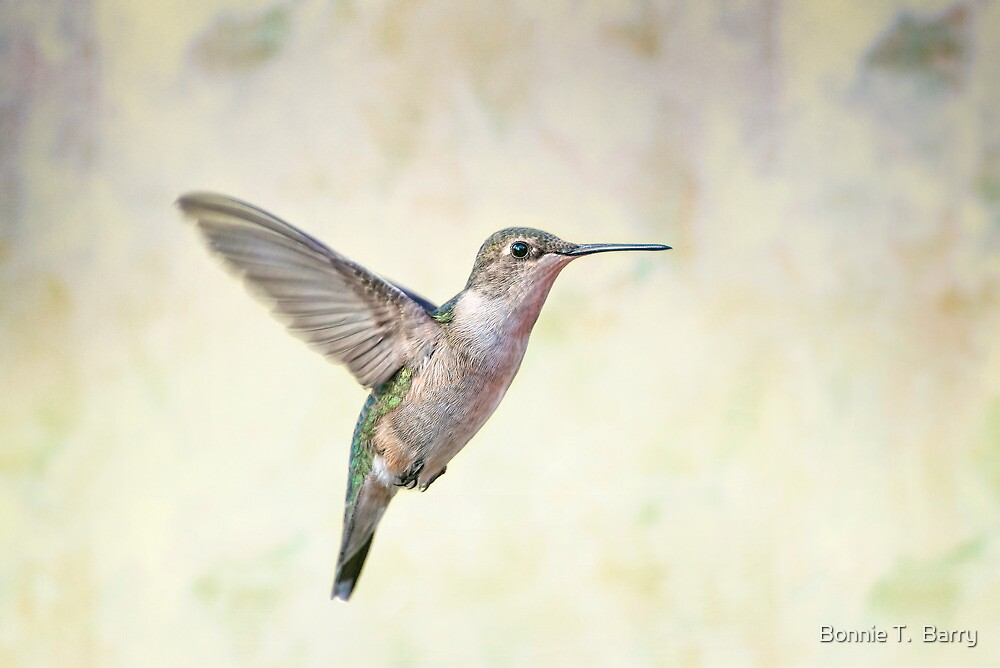 Hovering Hummingbird by Bonnie T.  Barry