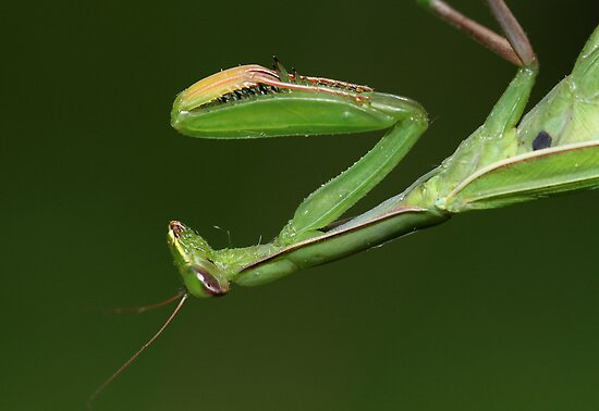 Praying Mantis by Gary Fairhead