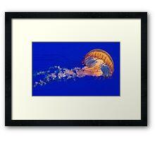 Sea Nettles Jellyfish (Chrysaora fuscescens) Framed Print