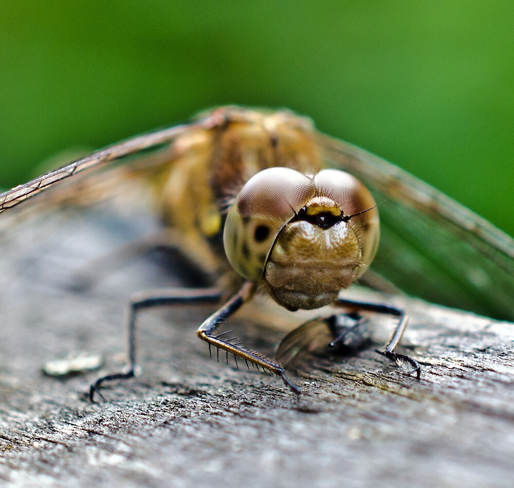 Common Darter Dragonfly by Paul Spear