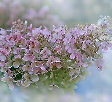 Hydrangea Paniculata -  Pinky Winky by jules572