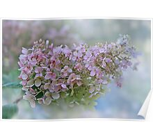 Hydrangea Paniculata -  Pinky Winky Poster