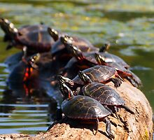 Sunbathing Turtles by Linda  Makiej