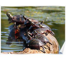 Sunbathing Turtles Poster