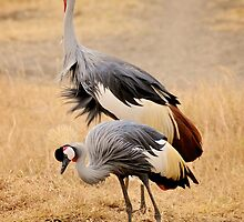 Cranes in the Crater by Roger  Mackertich