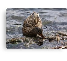 Mama Mallard looking for lunch. Canvas Print