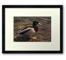 Daddy Mallard looks for a meal. Framed Print