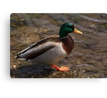 Daddy Mallard looks for a meal. Canvas Print