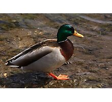 Daddy Mallard looks for a meal. Photographic Print