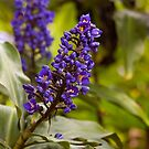 Blue Ginger by JagiShahani