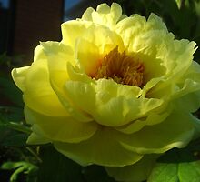 Alluring peonies of May by MarianBendeth