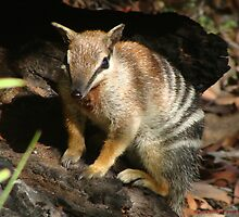 Numbat - Warrup Forest by pandab1jb