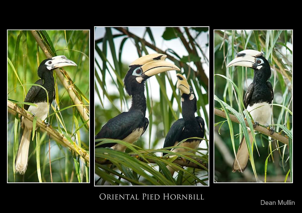 Oriental Pied Hornbill by Dean Mullin