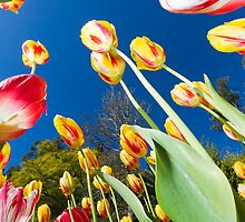 Tulips by Nigel Donald