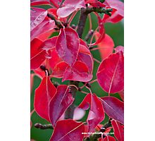 Red pear leaves Photographic Print