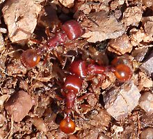 Red Ants Serving the Queen by Kimberly Miller