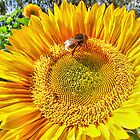 Bumble Bee And Sunflower by Colin J Williams Photography