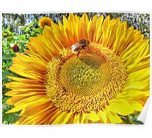 Bumble Bee And Sunflower Poster