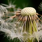 Dandelion Seeds by Keld Bach