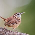 Saucy Little Carolina Wren by Bonnie T.  Barry
