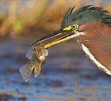 Green Heron with breakfast by Bryan  Keil