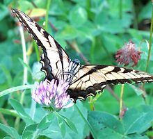 Tiger Swallowtail Slurping Up Some Red Clover Nectar by Ron Russell