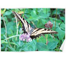 Tiger Swallowtail Slurping Up Some Red Clover Nectar Poster