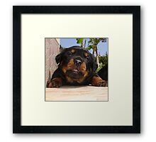 Rottweiler Puppy Giving Eye Contact Framed Print