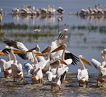 Great White Pelicans at Lake Nakuru by roger smith