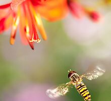 Hover fly by Rachael Talibart