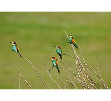 Bee Eaters in Line Photographic Print