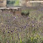 Lovely Lavender - l'Abbaye de Maillezais by Pamela Jayne Smith