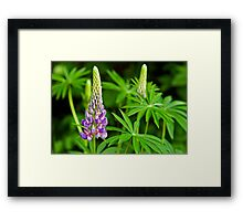 Lupin Time Framed Print