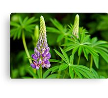 Lupin Time Canvas Print