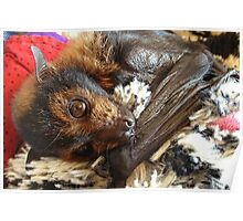 Sammi - Spectacled Flying Fox Poster