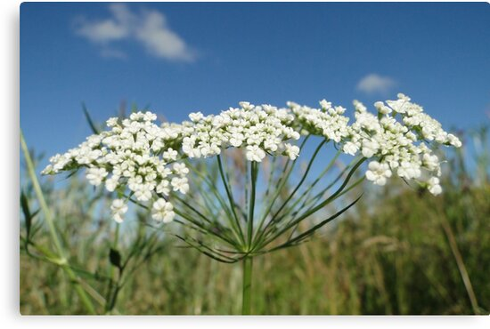 Wild Carrot by Barrie Woodward