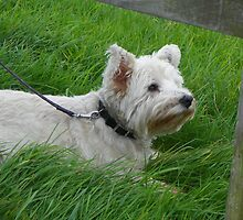 West Highland White Terrier by MishaLouise91