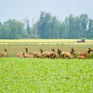 Elk in the Field by Tracy Riddell
