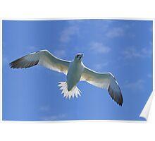 Gannet in Flight Poster