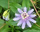 Passion Flower 4 by ©Dawne M. Dunton
