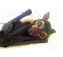 Raiden - Spectacled Flying Fox Photographic Print
