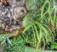 Staghorn Fern on a tree in Nassau, The Bahamas by 242Digital