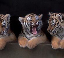 TIGER CUB TRIPLETS by ChrisBalcombe